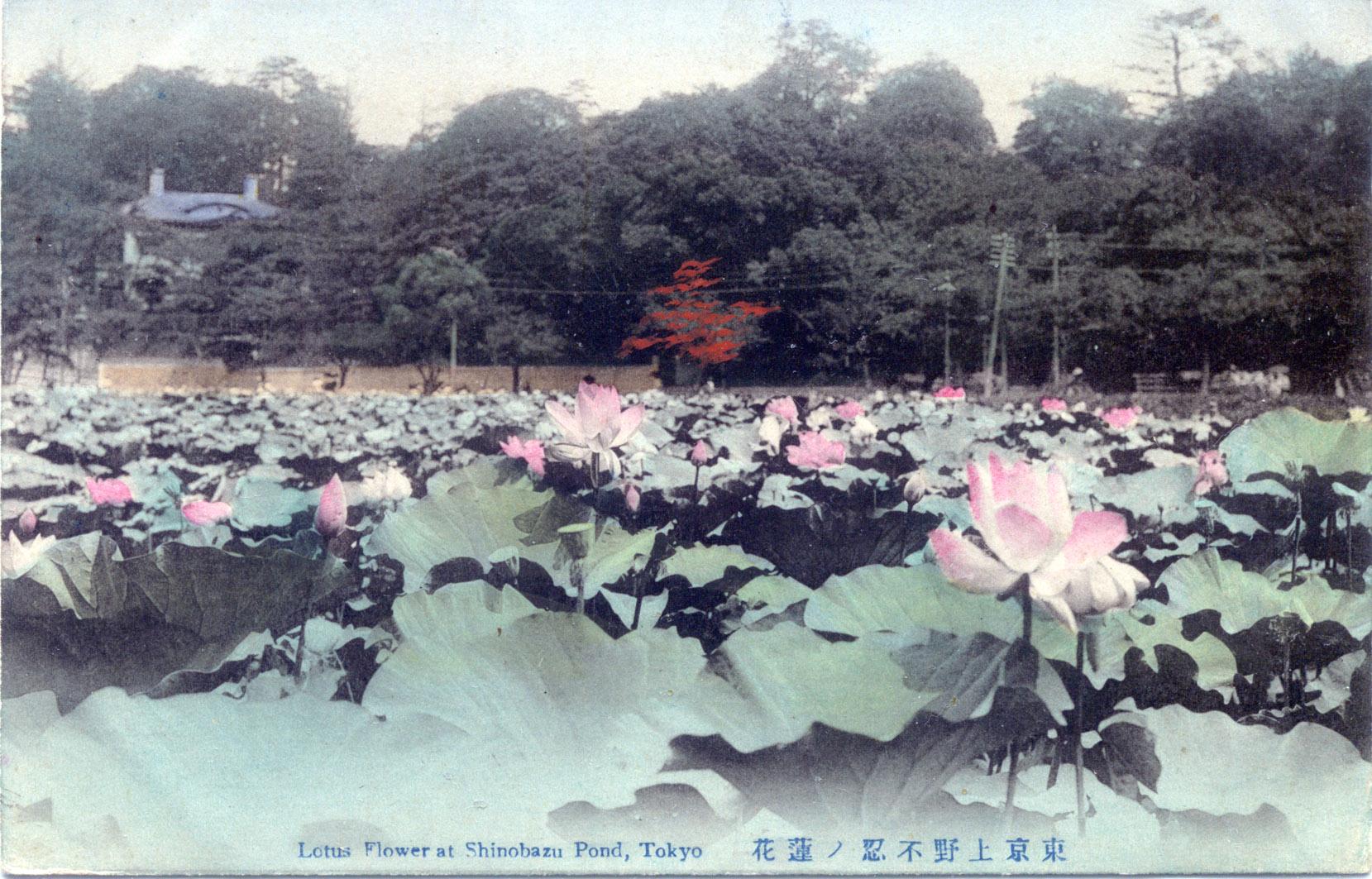 Lotus flower at shinobazu pond ueno c 1910 old tokyo lotus flower at shinobazu pond ueno c 1910 izmirmasajfo