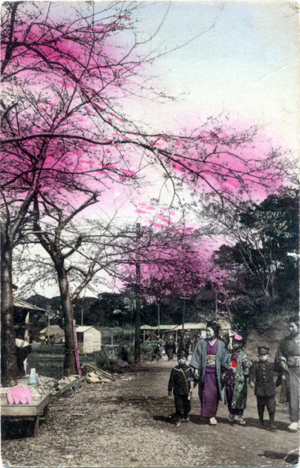 Cherry blossoms, Japan, c. 1910.
