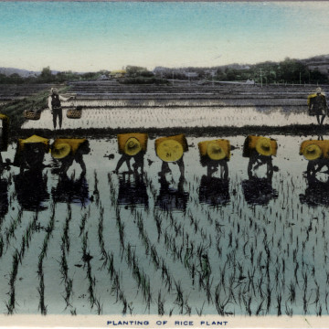 Farming: Planting rice, c. 1910.