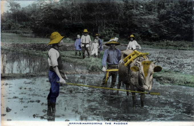 Spring-harrowing the paddies, c. 1910.