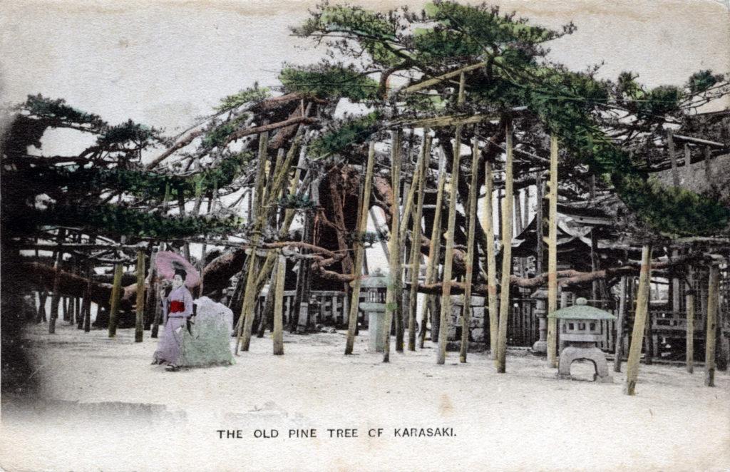 Karasaki pine tree, c. 1910.