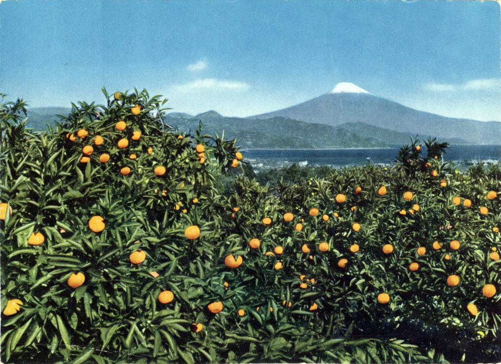Mikan field and View of Mit. Fuji from Nihon-Dairo, Shizuoka, c. 1950.