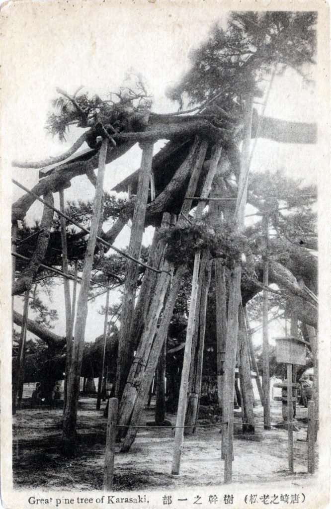 Great pine tree of Karasaki, c. 1910.