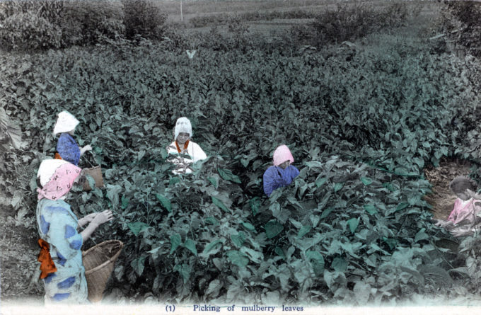 Picking mulberry leaves, c. 1920.