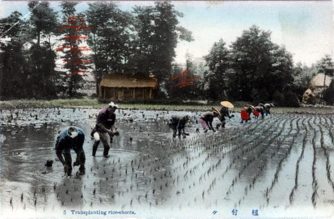 Transplanting rice-shoots, c. 1910.